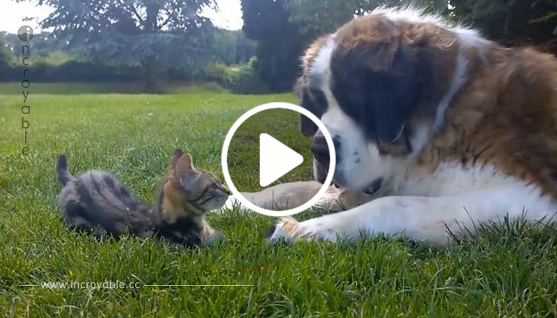 Un Saint-Bernard totalement fasciné par… un Chaton